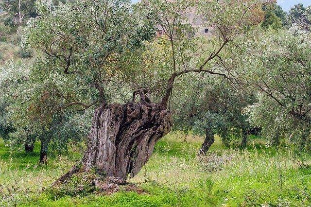 ulivo in giardino